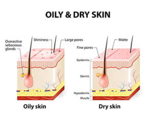 section of dry and oily skin and hair follicle